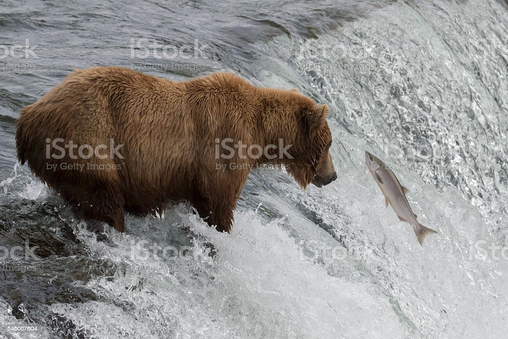 Grizzly Bear Hunting Salmon in Waterfall stock photo