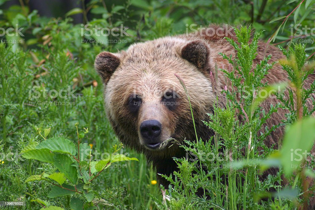 Grizzly Bear III royalty-free stock photo