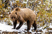 Grizzly bear in snow