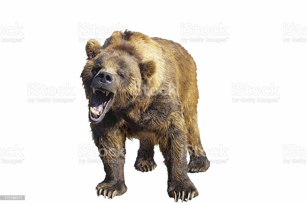 Grizzly Bear Isolated royalty-free stock photo