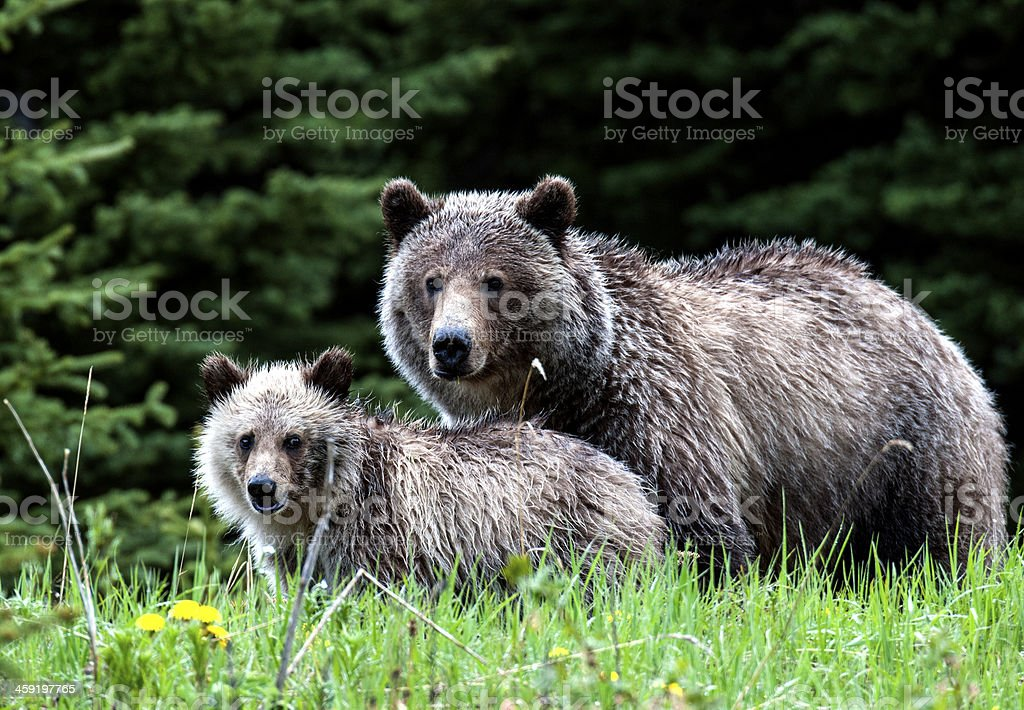 Grizzly Bear Mom and Cub stock photo