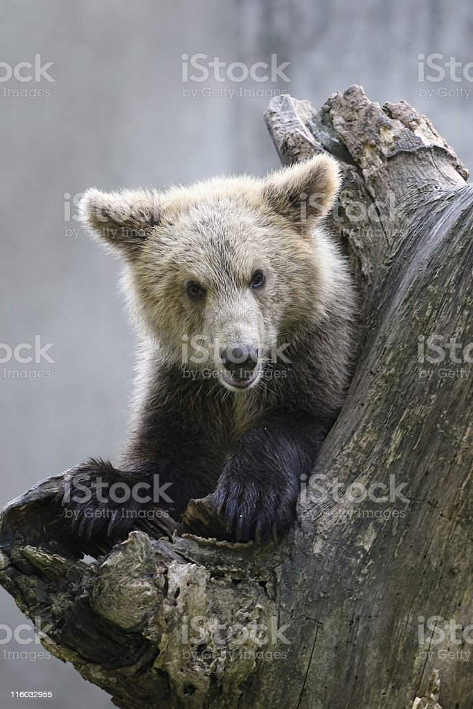 Grizzly bear on a tree royalty-free stock photo