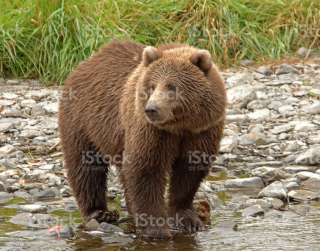 Grizzly Bear On Shoreline stock photo