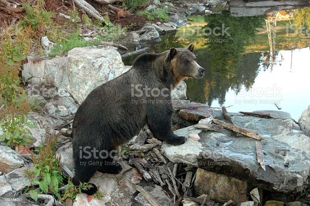 Grizzly Bear Overlooking Pond stock photo