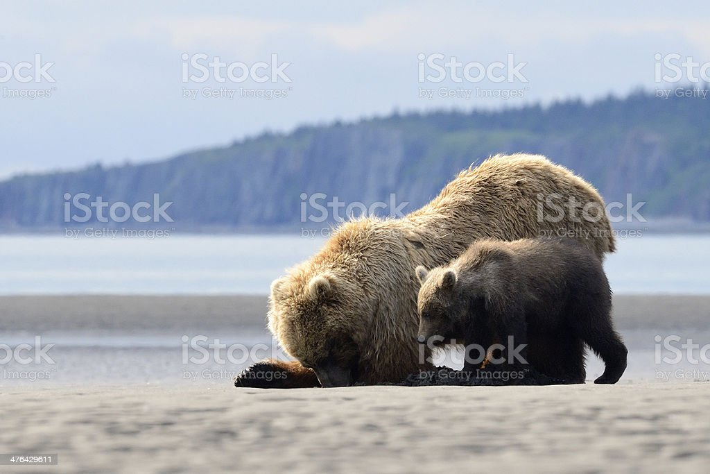 Grizzly Bear royalty-free stock photo