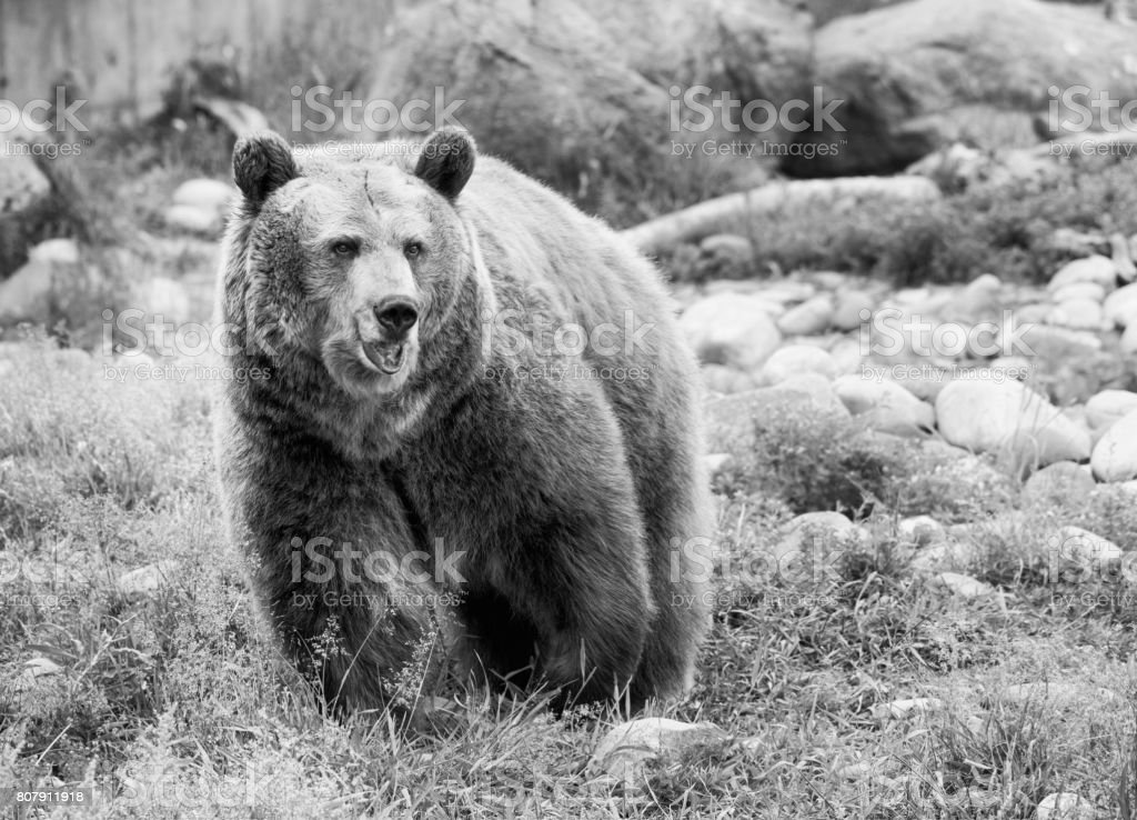 Grizzly Bear portrait in Black and White stock photo