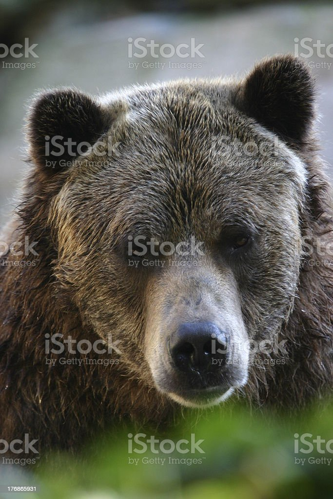 Grizzly bear portrait royalty-free stock photo