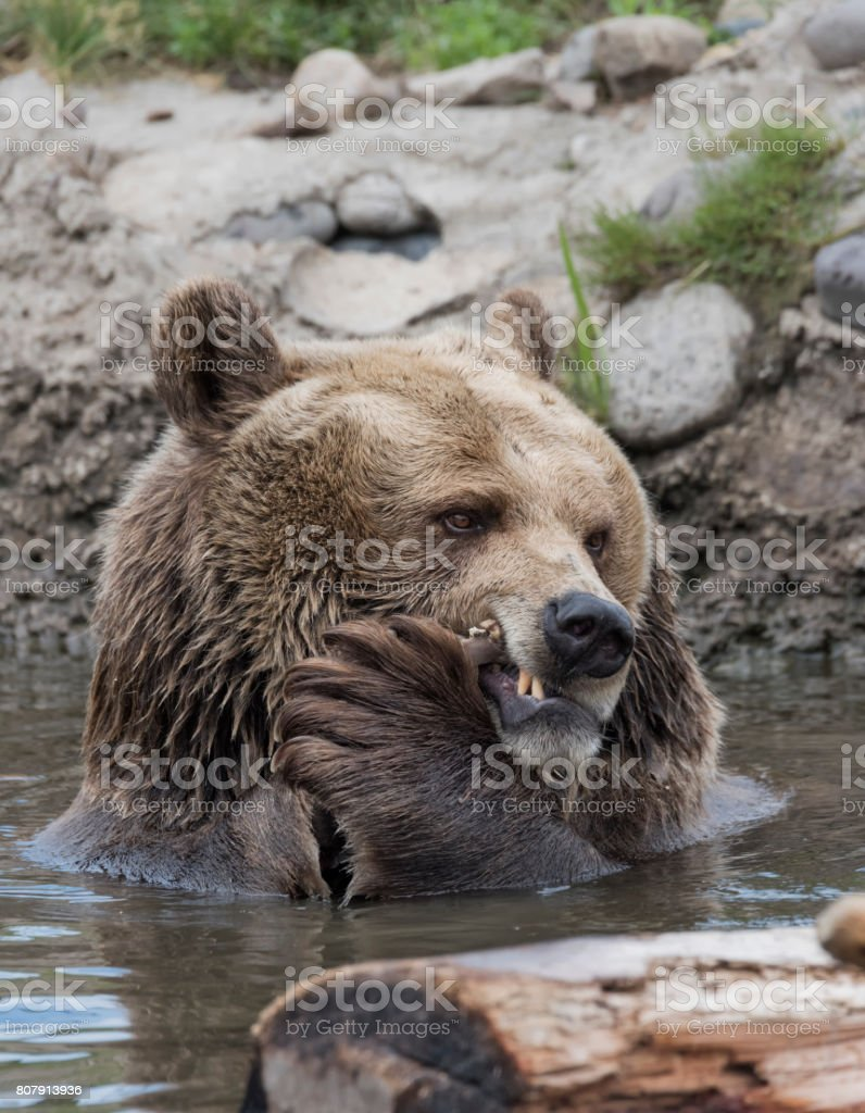Grizzly Bear Portrait stock photo
