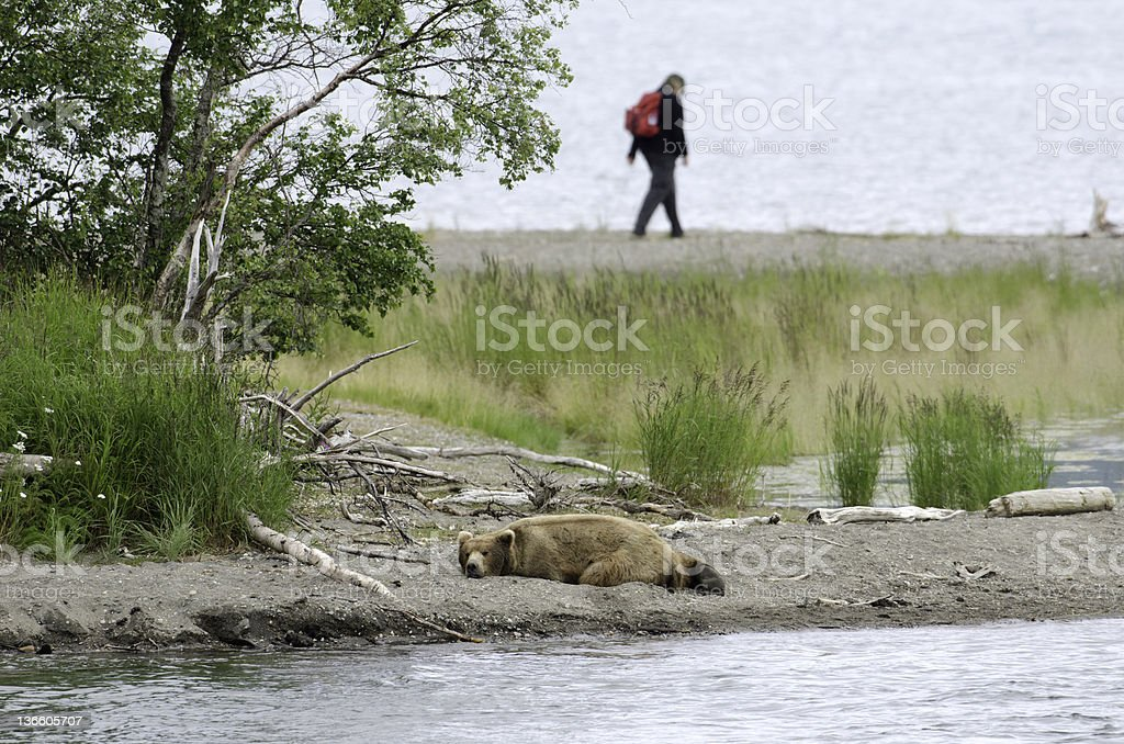 Grizzly bear resting with hiker in background stock photo