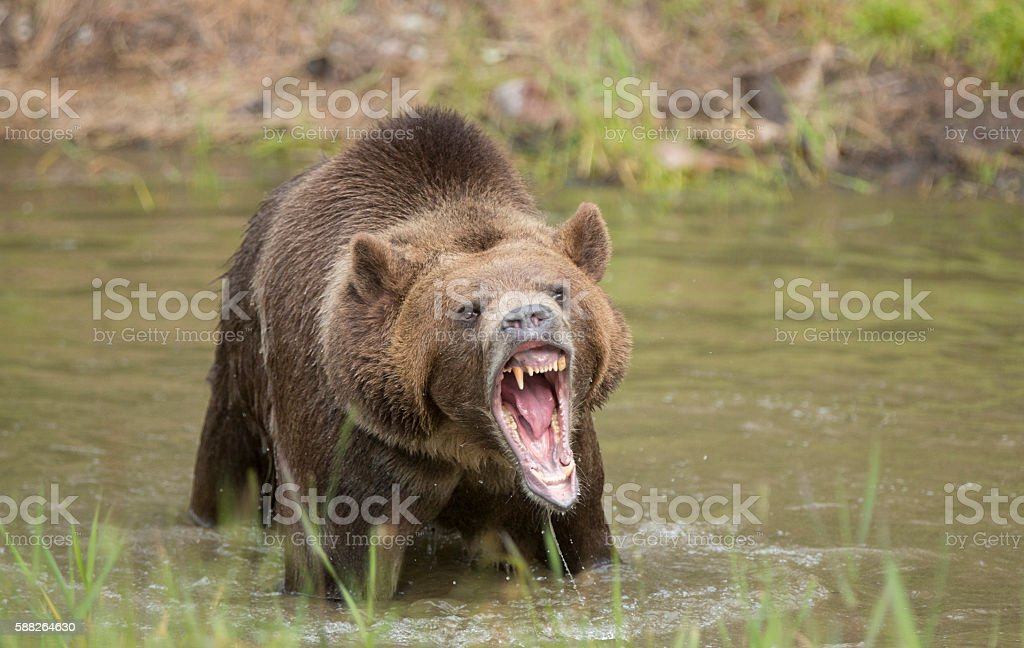grizzly bear roar stock photo