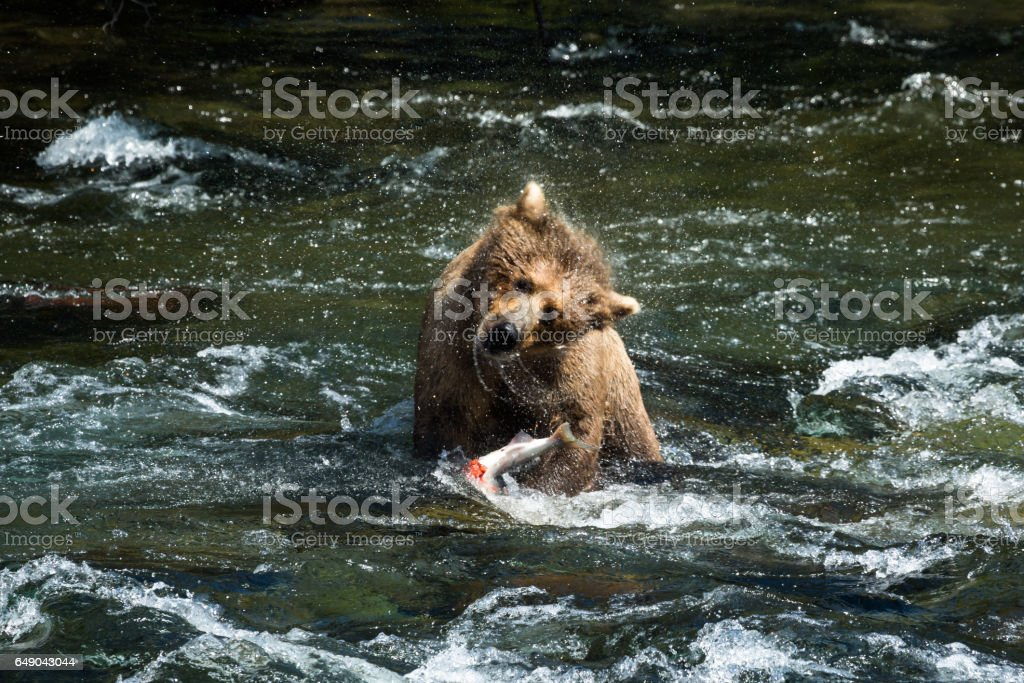 Grizzly bear shakes off after catching salmon from river stock photo