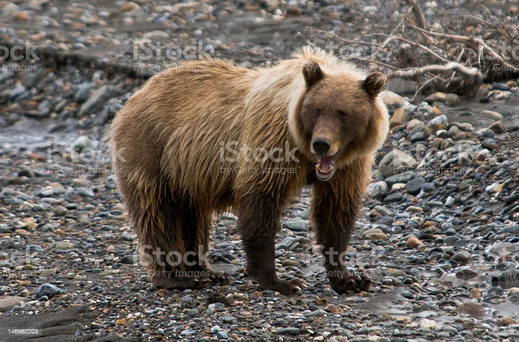 Grizzly Bear Sow calling her cub royalty-free stock photo