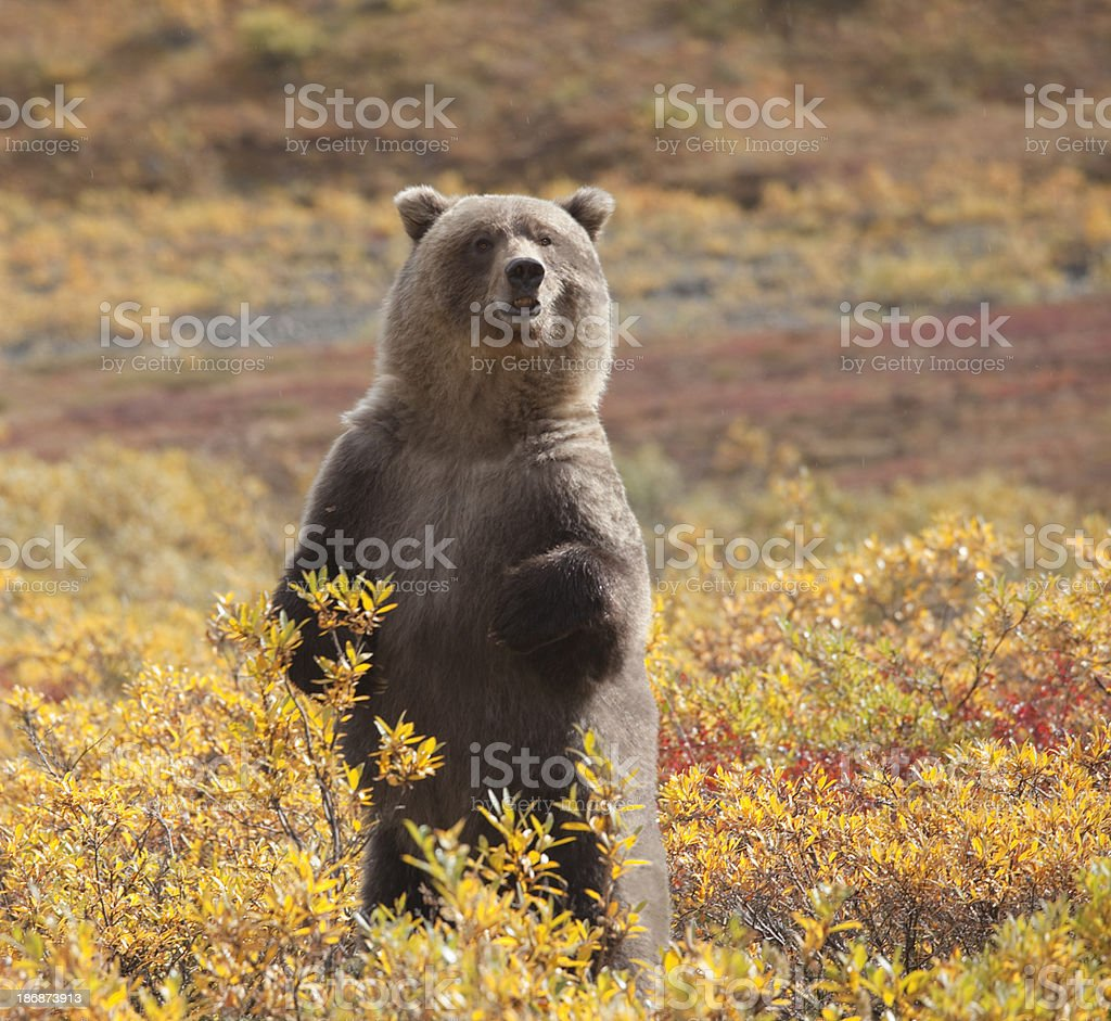 Grizzly Bear standing amid autumn foliage, Denali National Park, Alaska stock photo