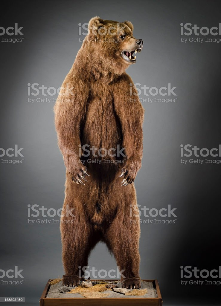 Grizzly Bear Standing on Hind Legs stock photo