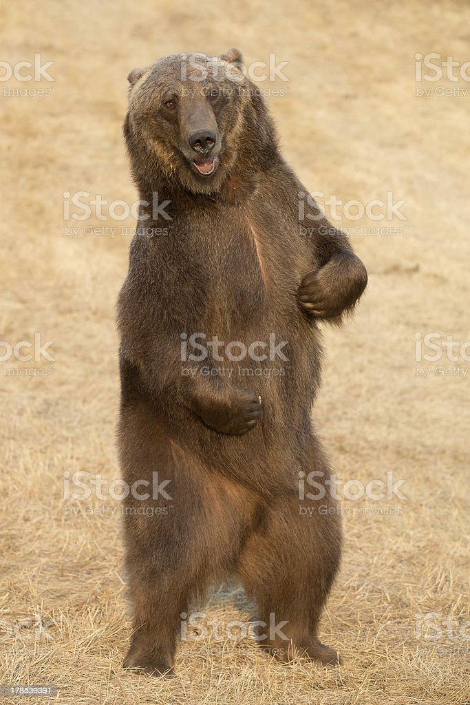Grizzly bear standing stock photo