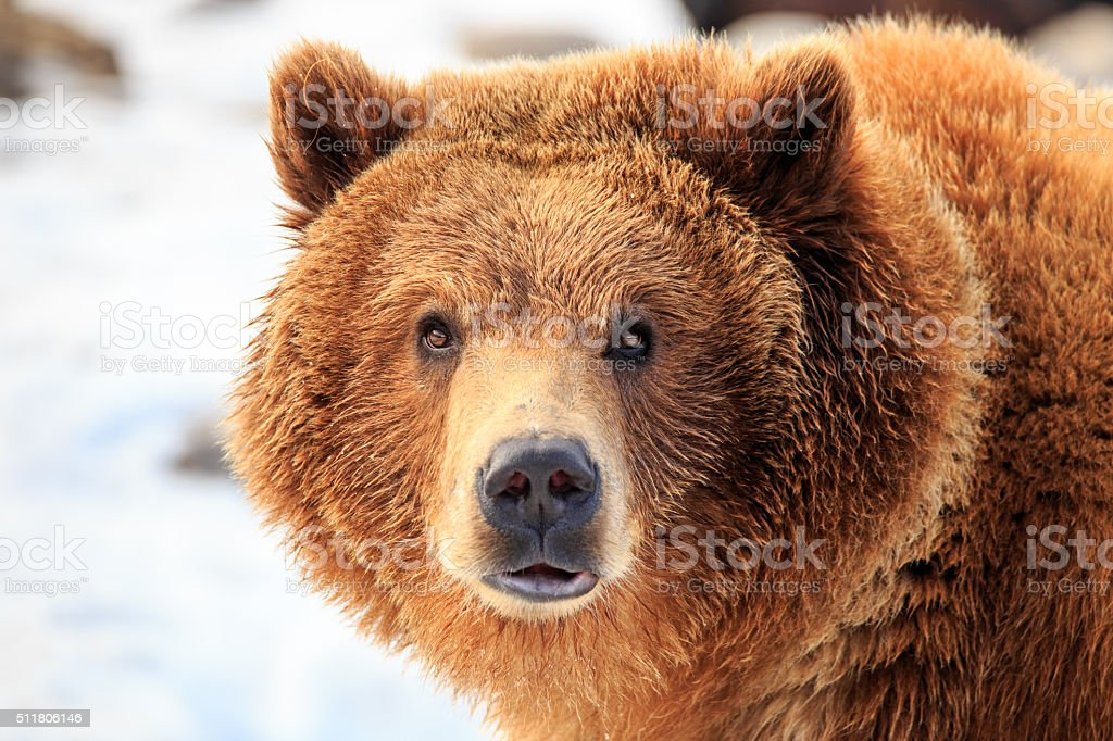Grizzly Bear Stare. stock photo