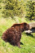 Grizzly Bear Ursus arctos Carnivore Predator