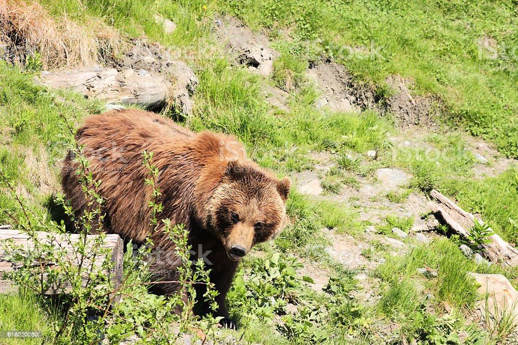 Grizzly Bear Ursus arctos Carnivore Predator stock photo
