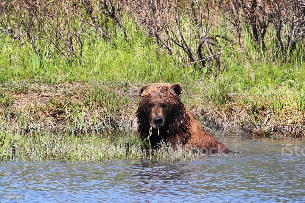 Grizzly Bear Ursus arctos Sitting Water Eating stock photo