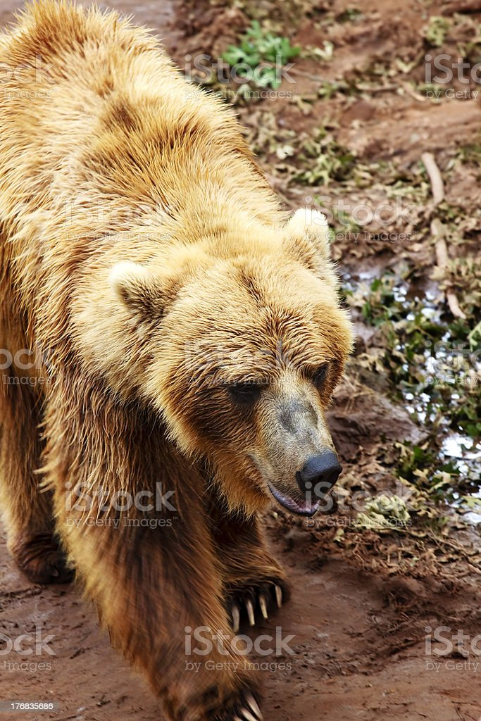 Grizzly Bear Walking royalty-free stock photo