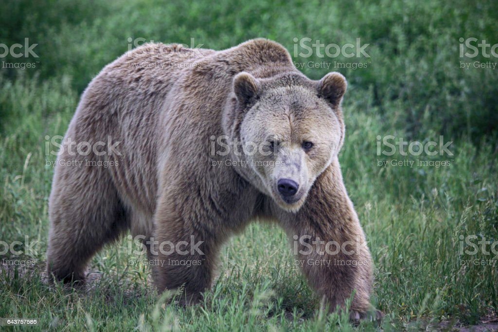 A grizzly bear walks face forward. stock photo