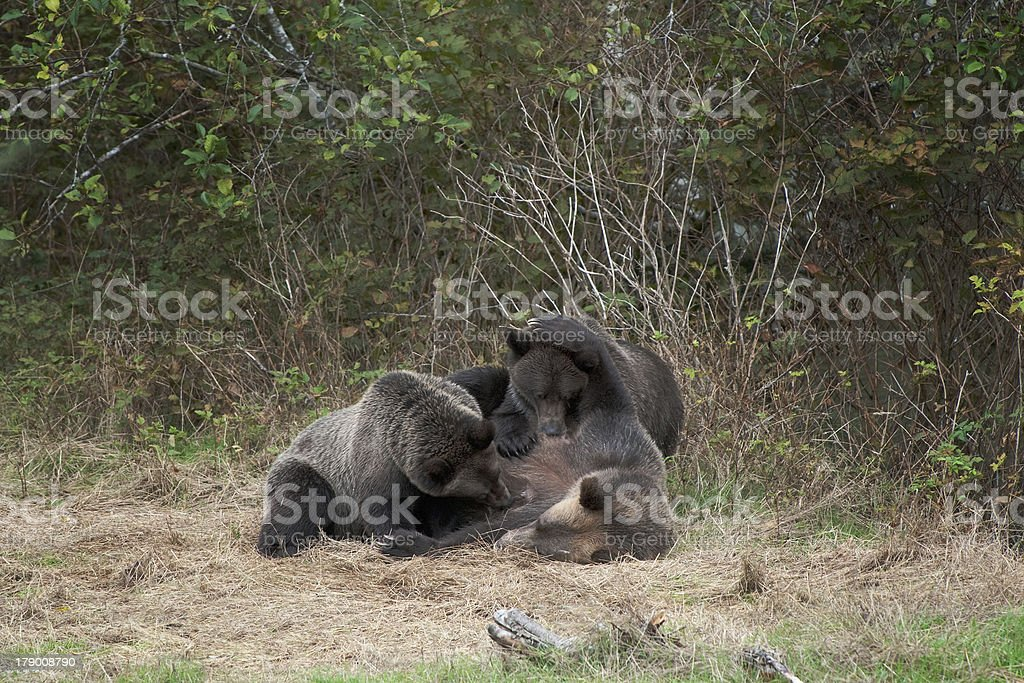 Grizzly Bear with cubs royalty-free stock photo