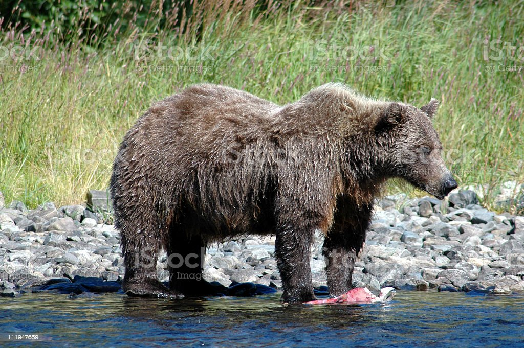 Grizzly bear with red salmon,Katmai National Park,Alaska royalty-free stock photo