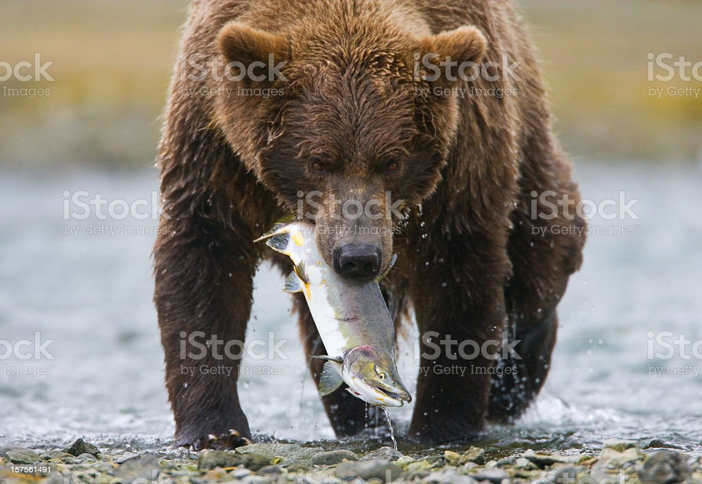 Grizzly Bear with Salmon stock photo