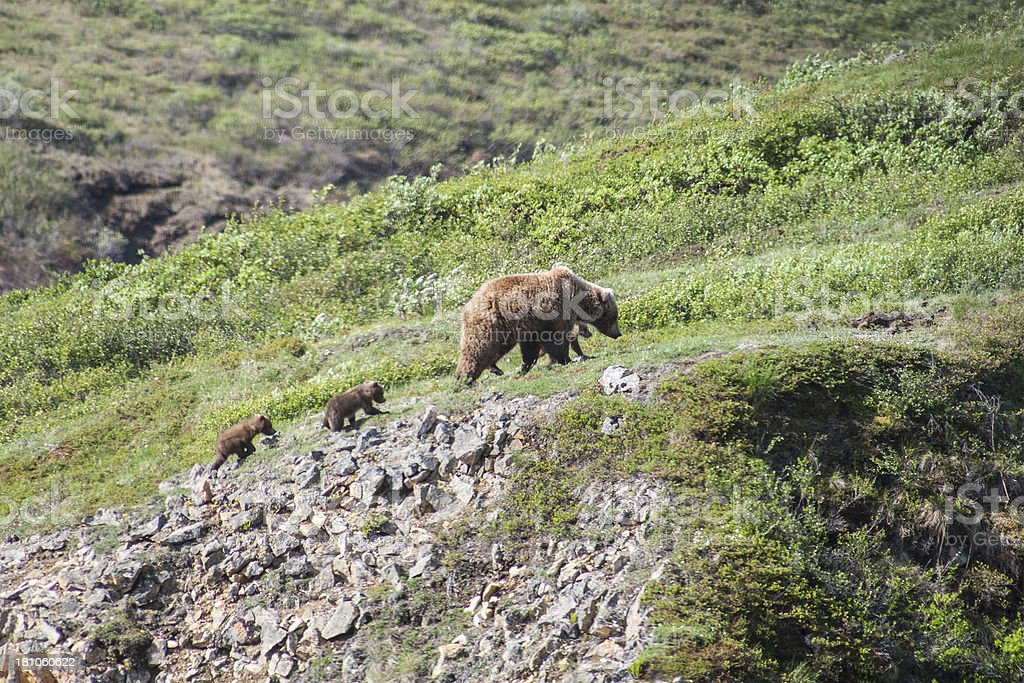 Grizzly Bear with three cubs royalty-free stock photo