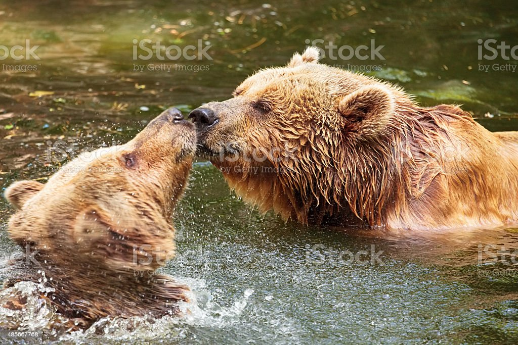 Grizzly Bears couple kiss stock photo
