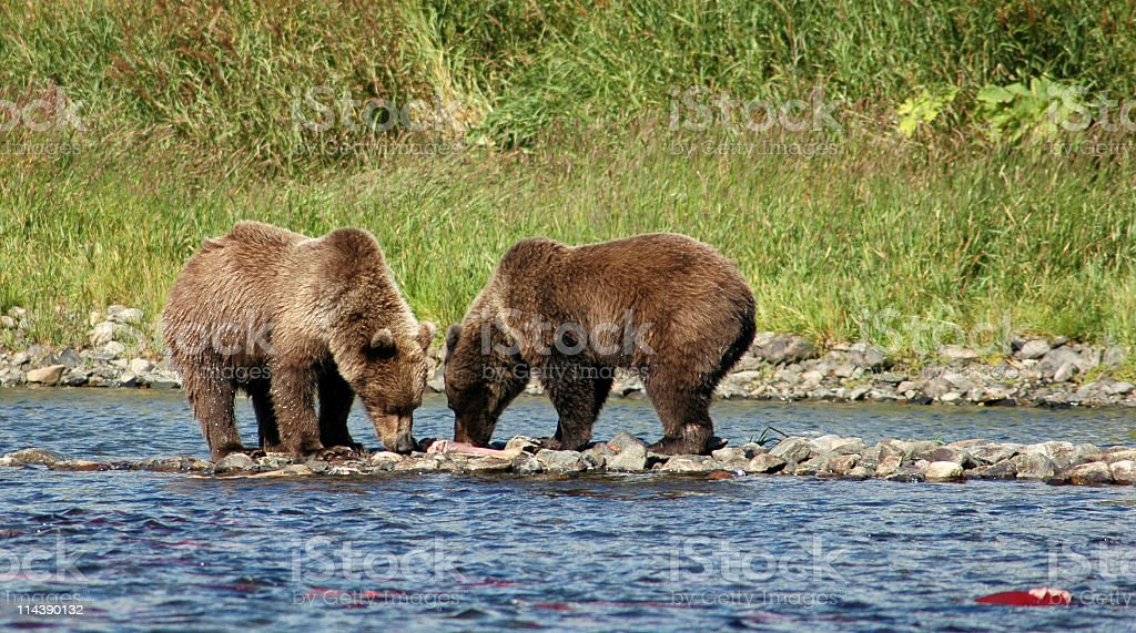 Grizzly bears eating red salmon ,Katmai National Park,Alaska. royalty-free stock photo