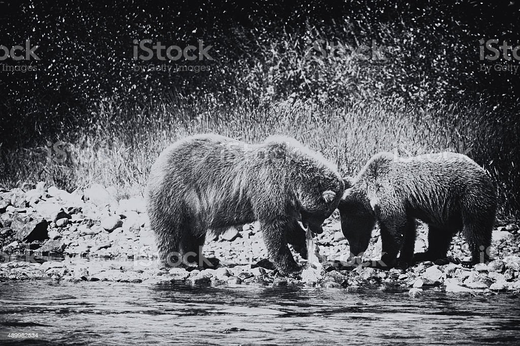 Grizzly bears eating red salmon ,Katmai National Park,Alaska. stock photo
