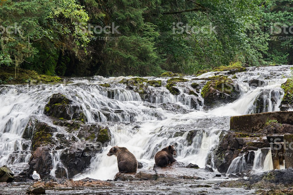 Grizzly bears fishing at waterfall in Alaska stock photo