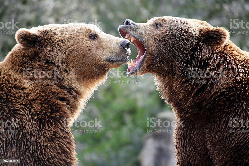Grizzly bears in a fight stock photo
