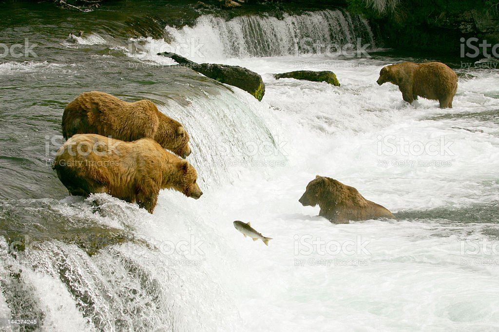 Grizzly bears royalty-free stock photo
