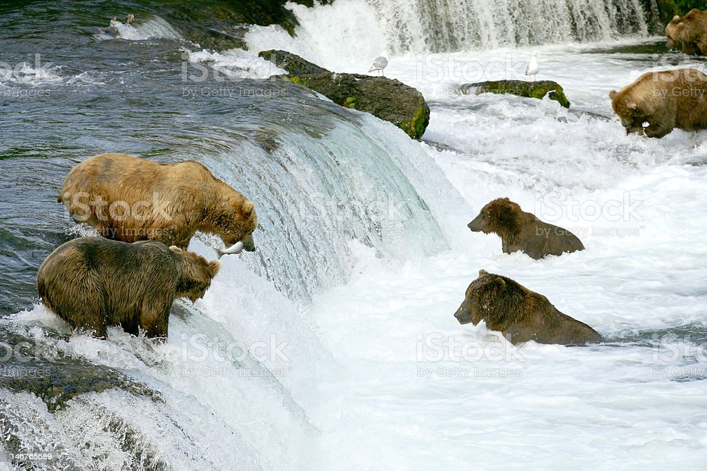 Grizzly bears stock photo
