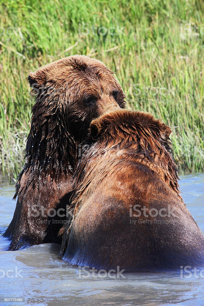 Grizzly Bears Ursus arctos Water Fight stock photo