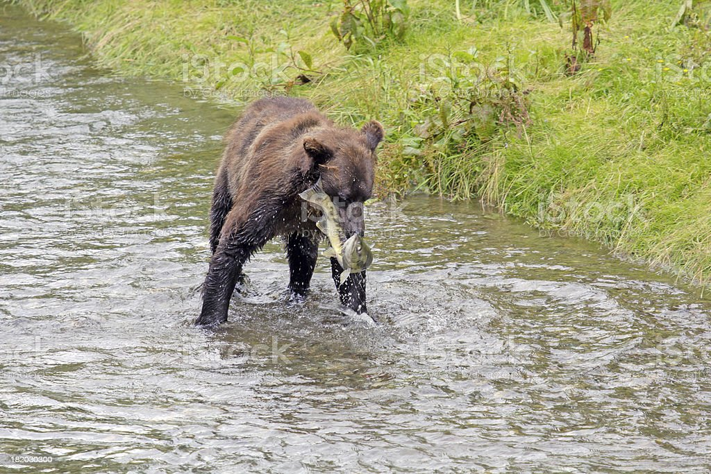 Grizzly catches fish stock photo