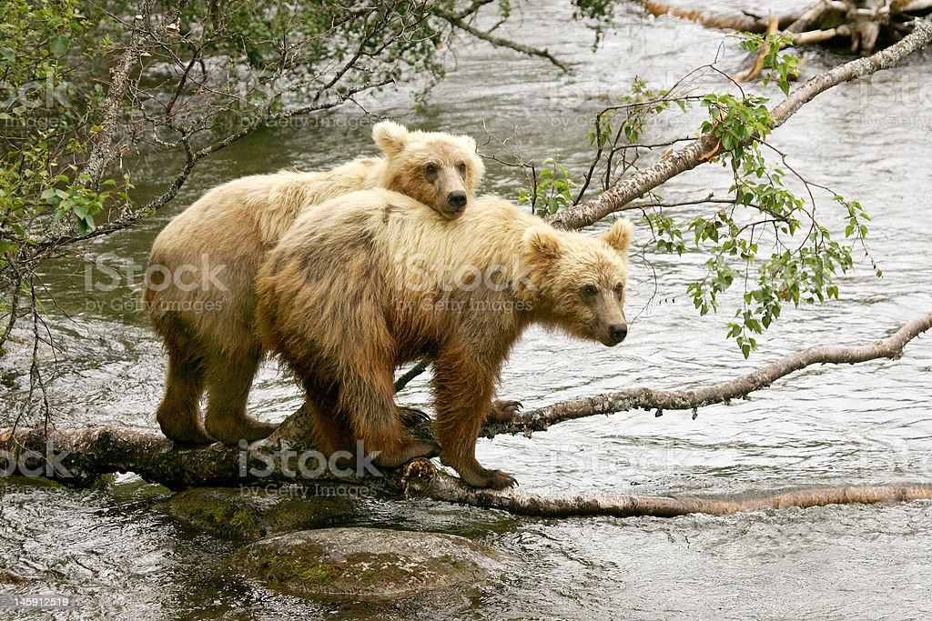 Grizzly cubs stock photo