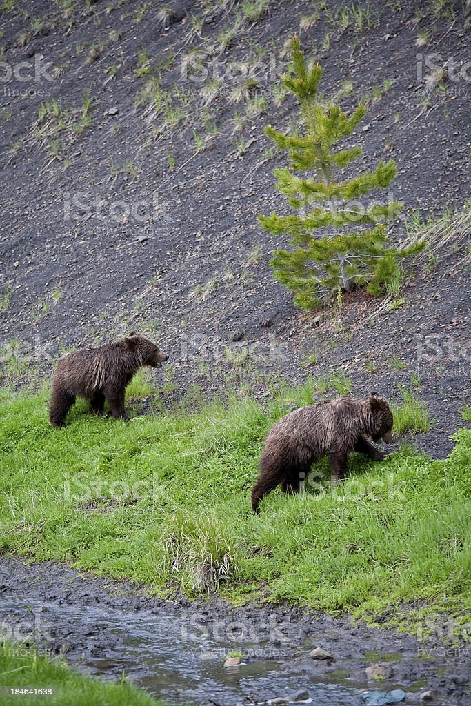 Grizzly Cubs royalty-free stock photo