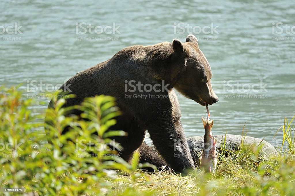 Grizzly eating salmon royalty-free stock photo