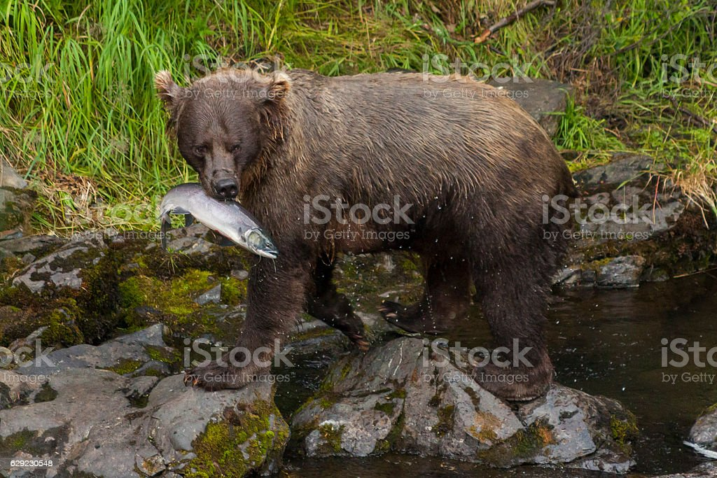 Grizzly luring her cubs away from the river with salmon. stock photo