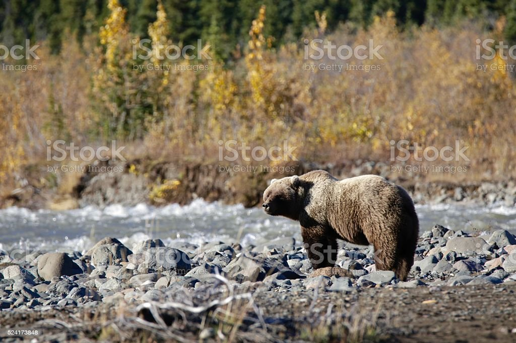 Grizzly Male stock photo