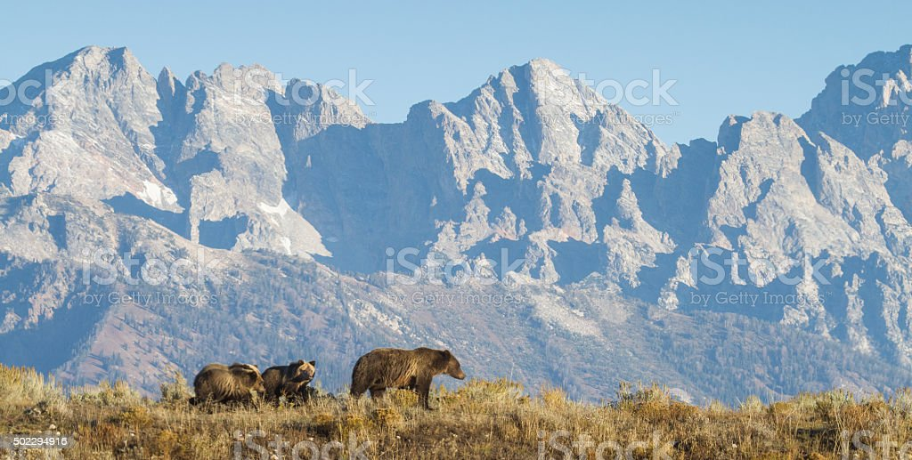 grizzly mom and cubs walking in front of rocky mountains stock photo