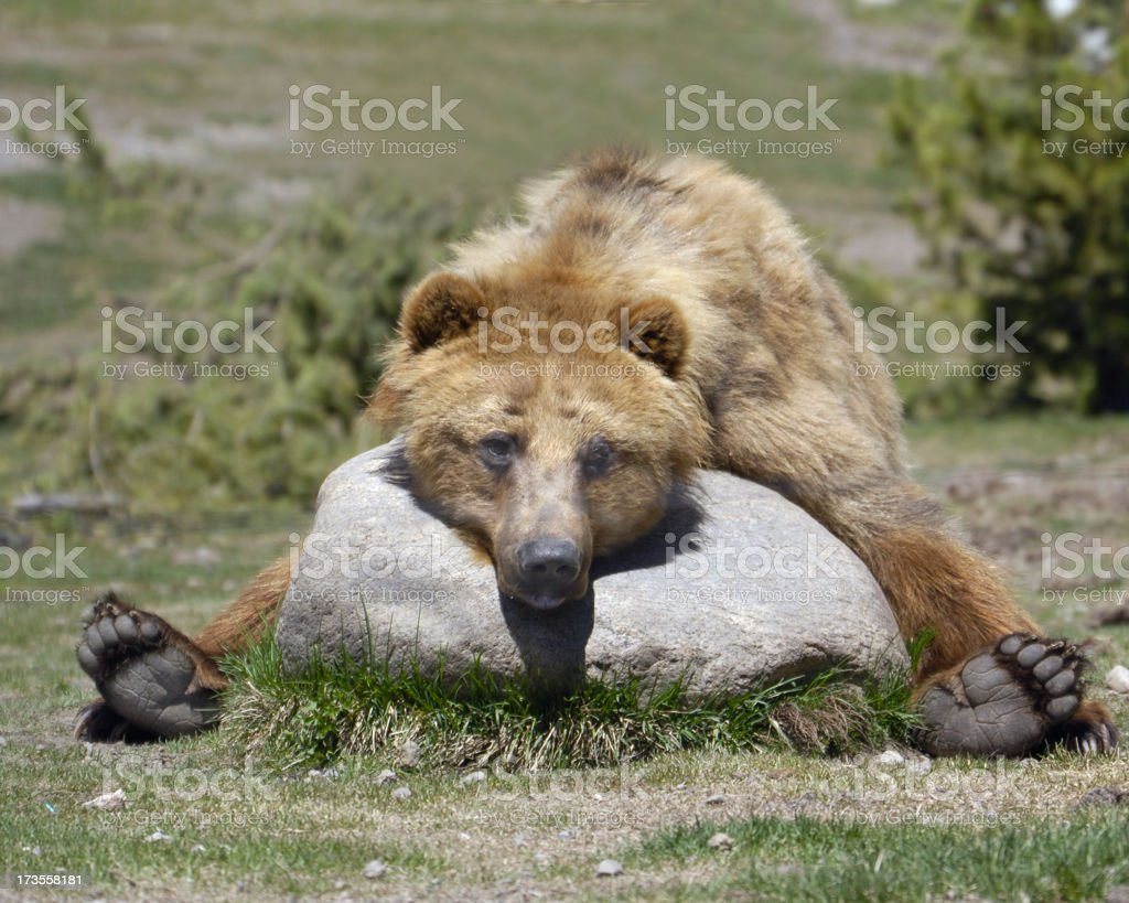 Grizzly on Rock stock photo