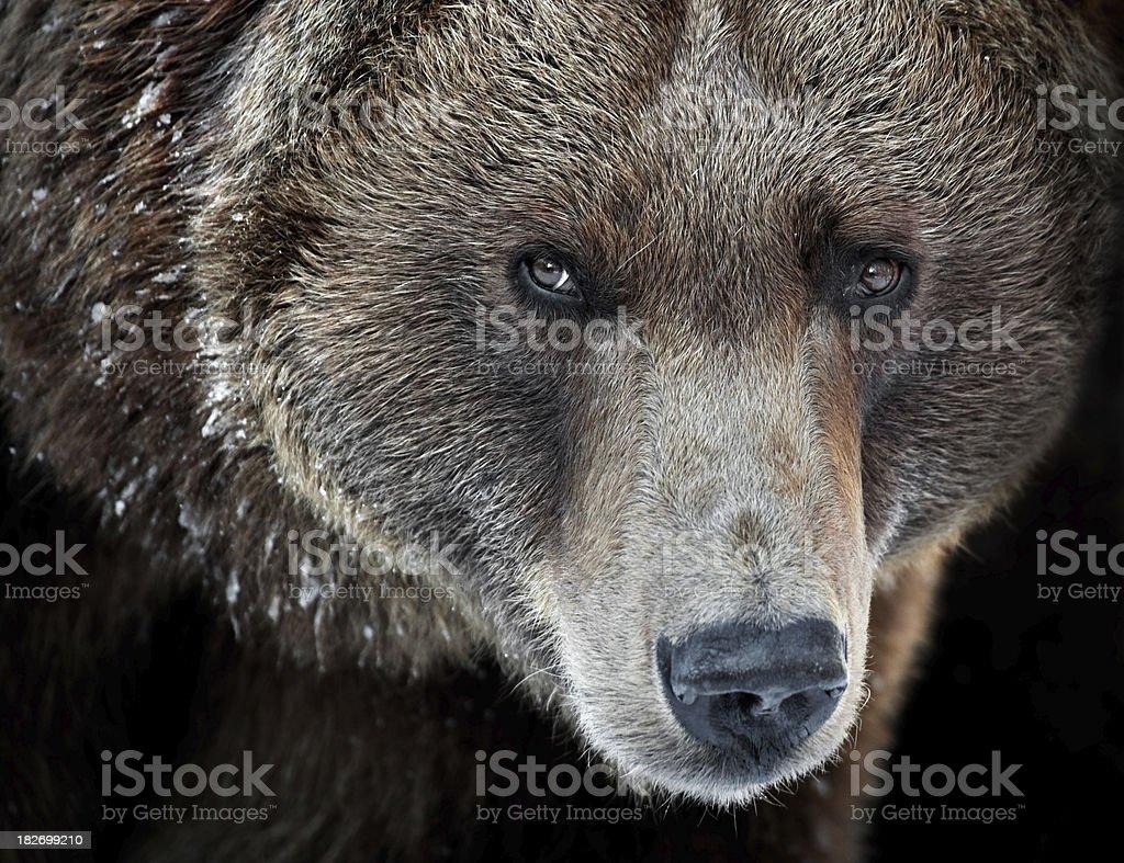 Grizzly Portrait stock photo