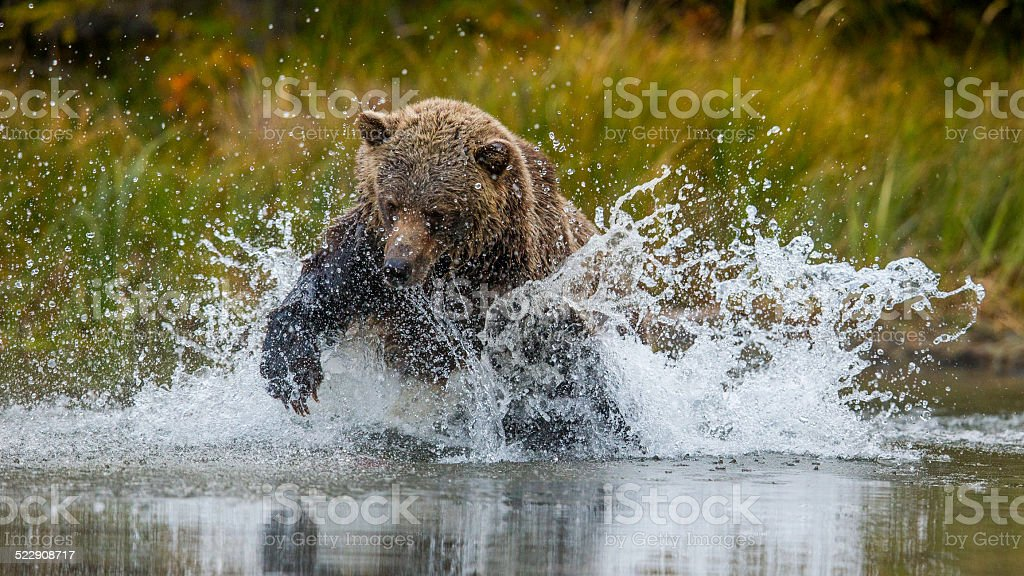 Grizzly salmon charge stock photo