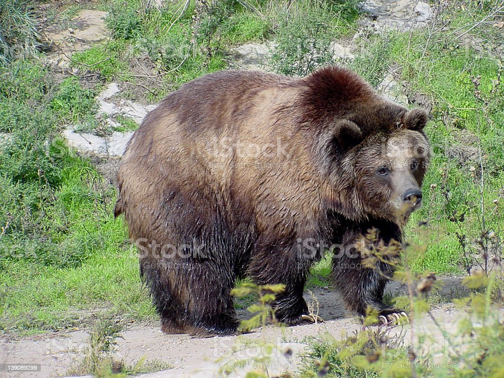 Grizzly @ Sedgwick County Zoo royalty-free stock photo