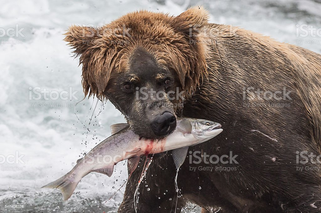 Grizzly with Fish stock photo
