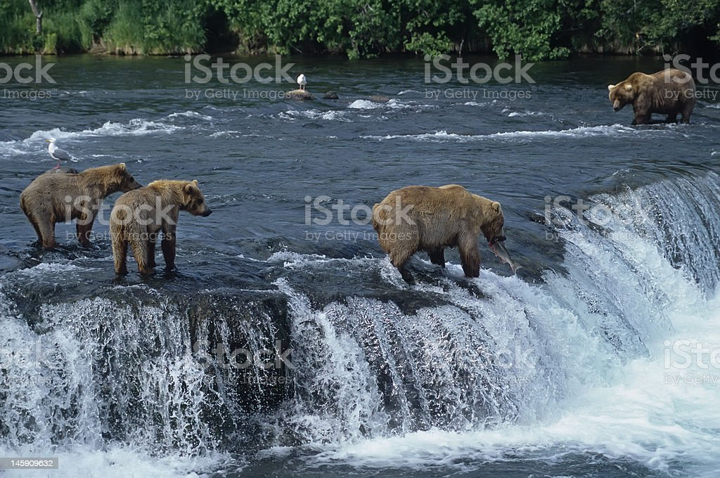 Grizzly with her cubs at waterfall,big male approaching. stock photo